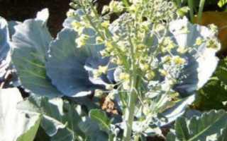 Семена капусты: как вырастить самостоятельно в домашних условиях, как получить