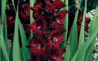 Гладиолус: 135 фото как посадить и ухаживать за цветком в ландшафтном дизайне