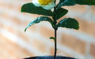 Чайный куст китайский: выращивание в саду и в квартире