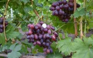 Виноград Джованни: описание сорта, фото и отзывы, агротехника