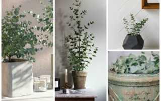 Домашнее растение эвкалипт: можно ли вырастить гиганта в комнатных условиях?