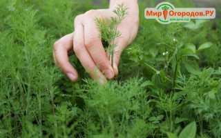 Выращивание укропа: в открытом грунте, открытом грунте, советы, фото, видео