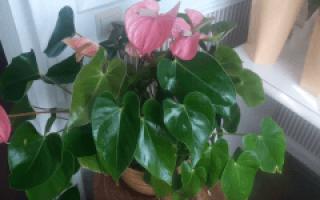 Цветок антуриум: уход в домашних условиях