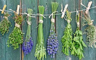 Пряные травы – выращивание на даче, уход за ними и сроки сбора