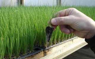 Особенности выращивания лука через рассаду
