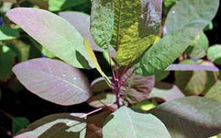 Особенности выращивания скумпии: посадка и уход за красивейшим кустарником