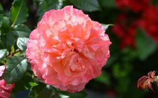 Роза Августа Луиза: описание сорта и фото, основные отличия