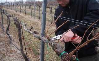Как подготовить виноград к зиме: укрытие и утепление куста, работа с молодыми побегами